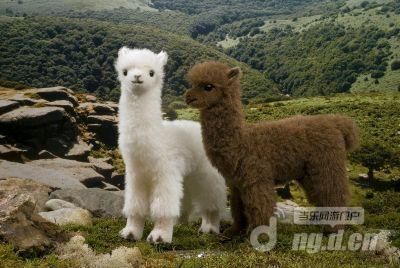 羊驼十大最萌动物图
